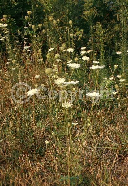 White blooms; Deciduous; Broadleaf