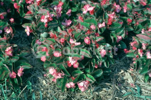Pink blooms; Deciduous; Broadleaf
