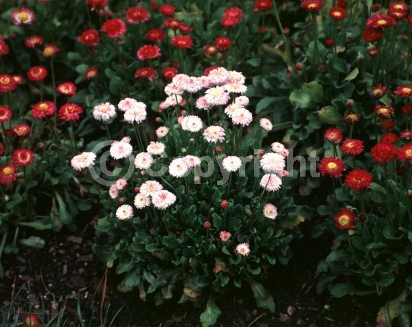 Red blooms; Orange blooms; Pink blooms; Deciduous; Broadleaf