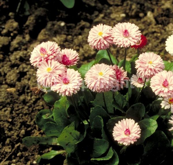 White blooms; Pink blooms; Deciduous; Broadleaf