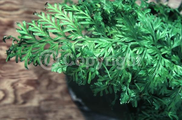 Evergreen; Broadleaf