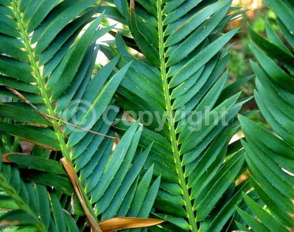 Evergreen; Needles or needle-like leaf