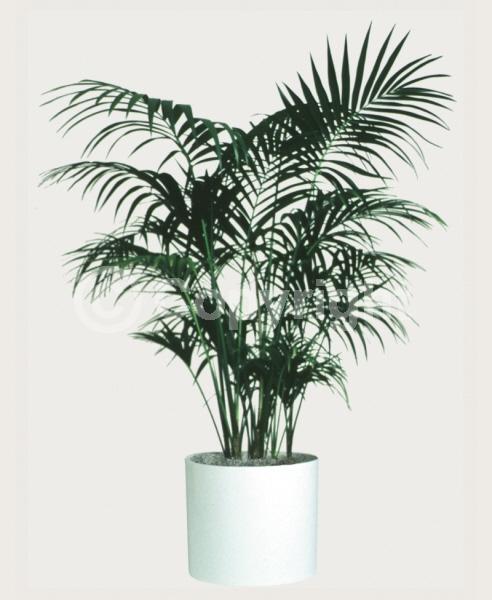 White blooms; Evergreen; Needles or needle-like leaf
