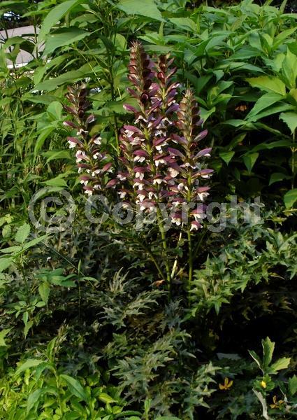 Purple blooms; White blooms; Pink blooms; Deciduous; Broadleaf; North American Native