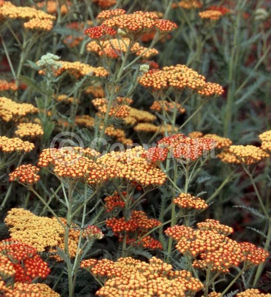 Red blooms; Deciduous; Broadleaf