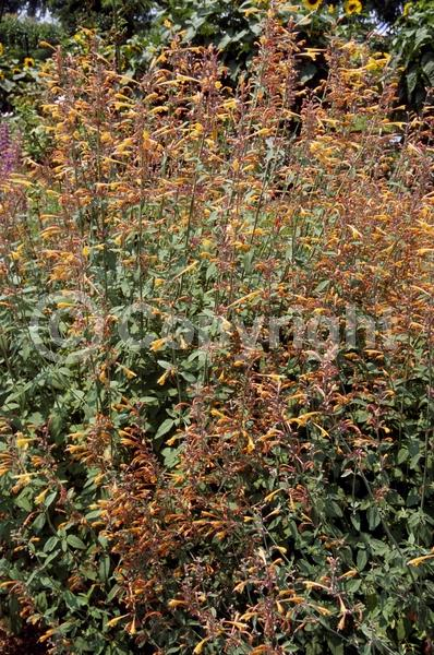 Orange blooms; North American Native