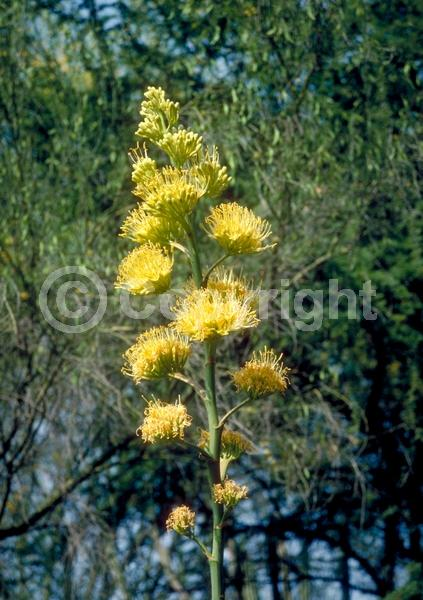 Yellow blooms; Evergreen; North American Native