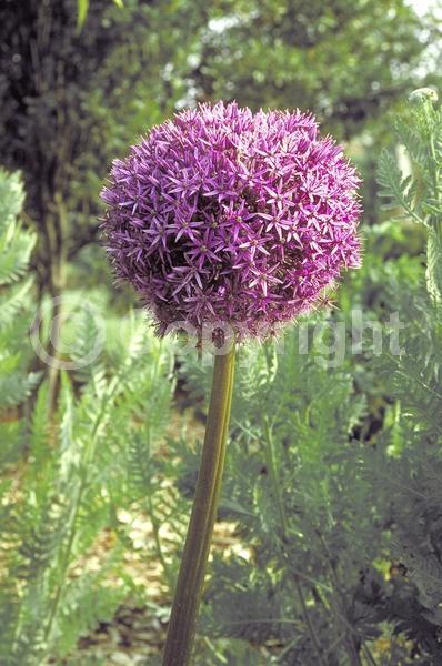 Purple blooms; Deciduous; Broadleaf