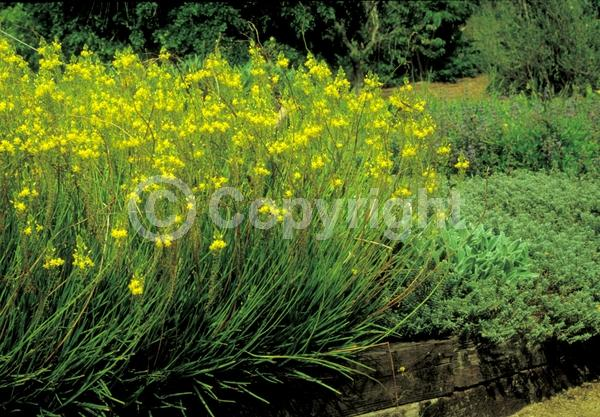 Yellow blooms; Deciduous; Broadleaf