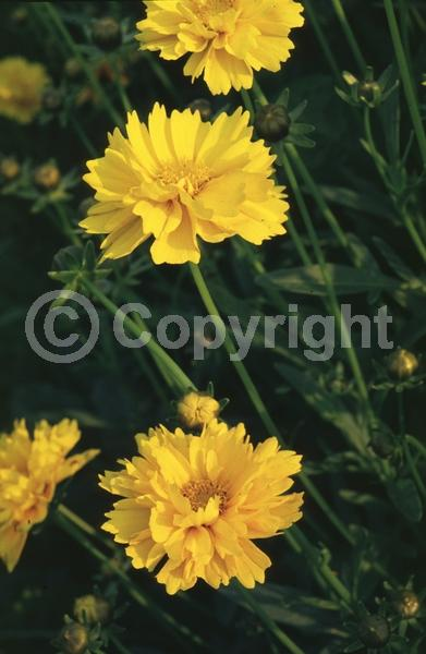 Yellow blooms