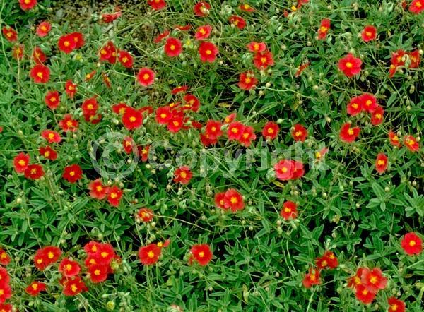 Red blooms; Orange blooms; Yellow blooms; White blooms; Pink blooms; Deciduous; Broadleaf