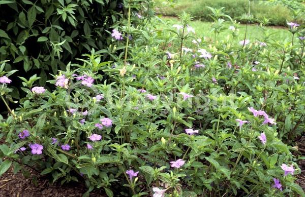Blue blooms; Purple blooms; Deciduous; Broadleaf; North American Native