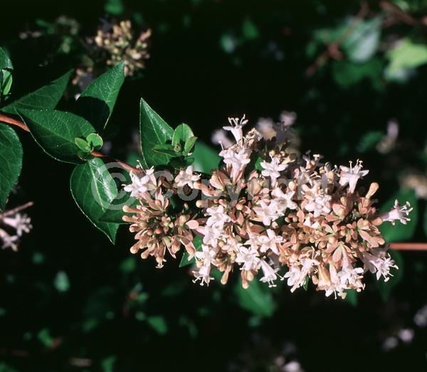 Pink blooms; Semi-evergreen; Deciduous