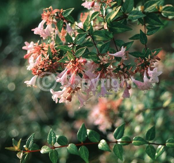 Pink blooms; Evergreen; Needles or needle-like leaf