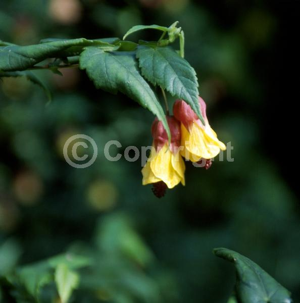 Yellow blooms; Evergreen; Semi-evergreen