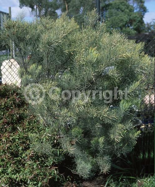 Yellow blooms; Evergreen
