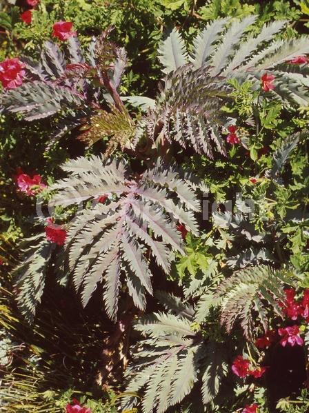 Red blooms; Brown blooms; Evergreen; Broadleaf
