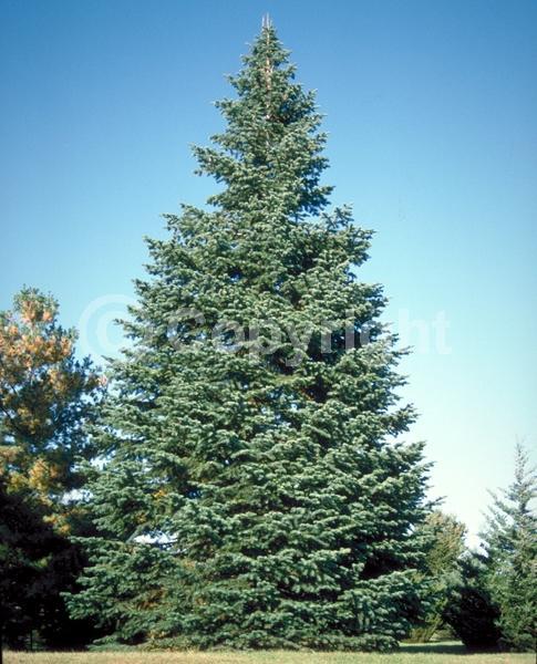 Evergreen; Needles or needle-like leaf; North American Native