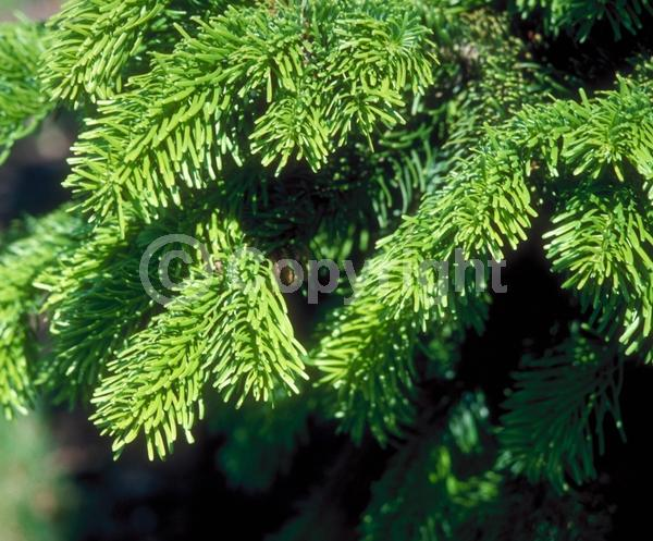 Red blooms; Evergreen; Needles or needle-like leaf