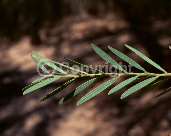 Yellow blooms; Semi-evergreen