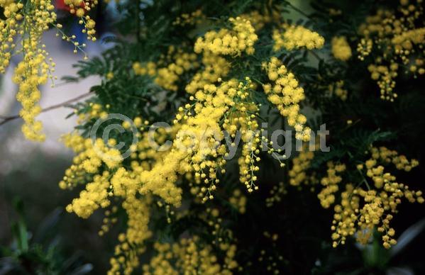 Yellow blooms; Evergreen; Semi-evergreen; Broadleaf