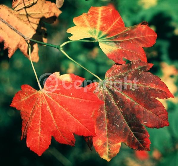 Red blooms; Deciduous; Broadleaf; North American Native