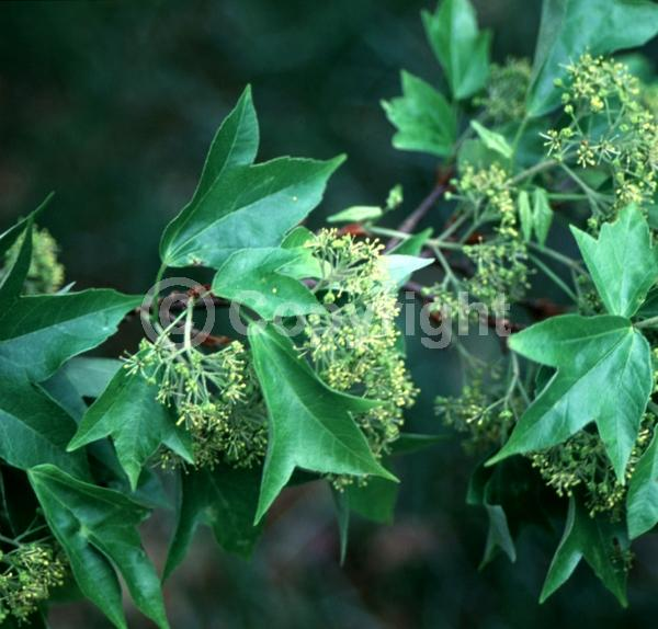 Yellow blooms; Green blooms; Deciduous; Broadleaf