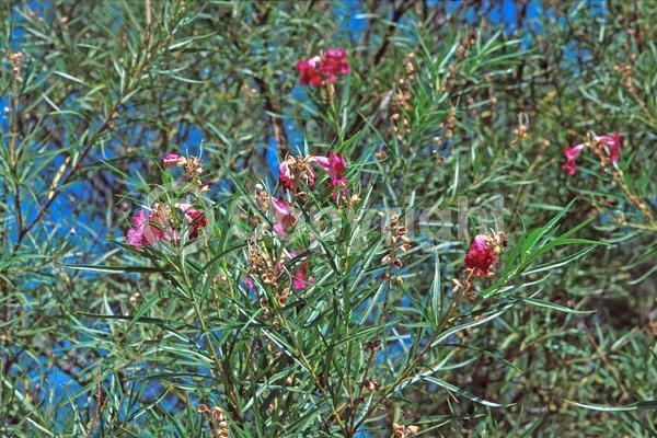 Purple blooms; Lavender blooms; Evergreen; Broadleaf; North American Native