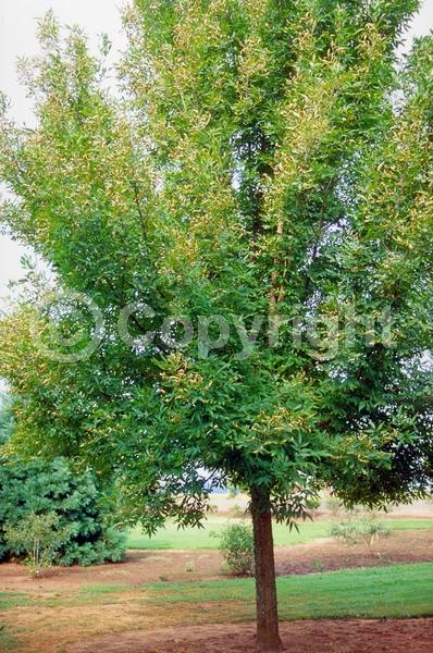 Green blooms; Deciduous; Broadleaf; North American Native