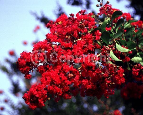 Red blooms; Deciduous