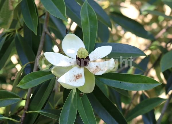 White blooms; Evergreen